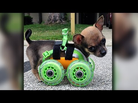 Turbo-Roo: Cute Two-Legged Chihuahua Given Wheels To Move Independently