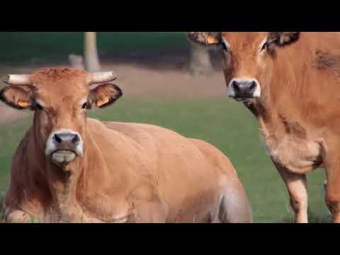 la ferme de Couts éleveur et sélectionneur de la race Parthenaise