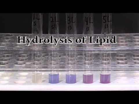 Hydrolysis of Lipid