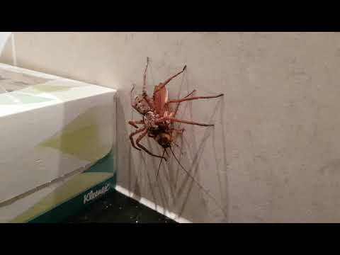 Spider Vs Cockroach