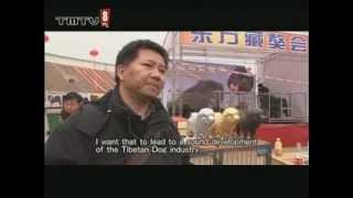 Nonton China How Tibentan Dog Breeders  Www Tmtv8 Com  Film Subtitle Indonesia Streaming Movie Download