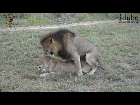 WILDlife: Lions Mating In South Africa (4K Video)