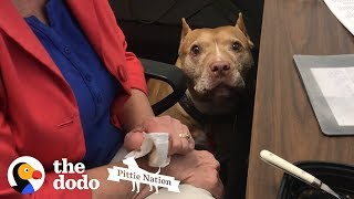 Every Office Should Have a Pittie | The Dodo Pittie Nation by The Dodo
