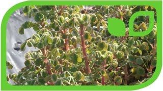 Die ersten Oca-Pflanzen