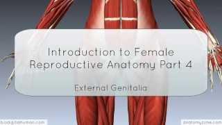Introduction To Female Reproductive Anatomy Part 4 - External Genitalia - 3D Anatomy Tutorial