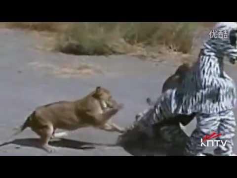 該死!兩男子假扮斑馬慘遭獅子圍攻