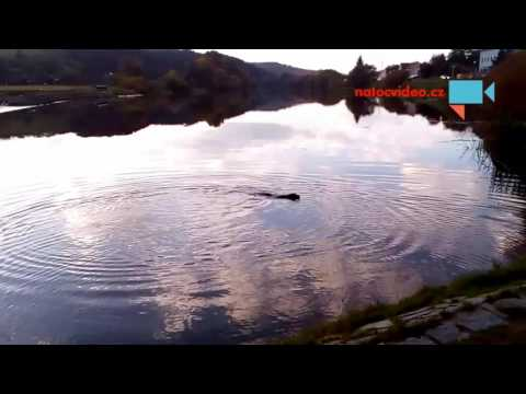 Labradorka potápěč