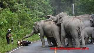 Video elephant herd attacks motorbike MP3, 3GP, MP4, WEBM, AVI, FLV Juli 2017