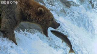 Video HD: Grizzly Bears Catching Salmon - Nature's Great Events: The Great Salmon Run - BBC One MP3, 3GP, MP4, WEBM, AVI, FLV Agustus 2017