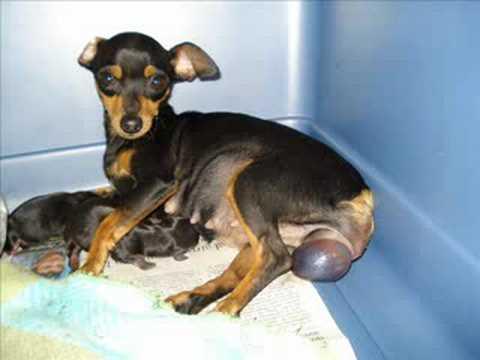 Nacimiento  perros  pinscher ,Nascimento pinscher cães
