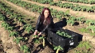 Picking Kale at New Sprout Organic Farms