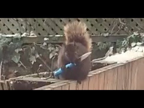 CAUGHT ON CAMERA: 2021: Squirrel wielding a knife?!