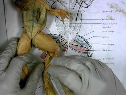 Frog Ventral Muscles
