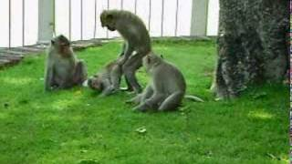 Video monkey make love when looking in the mirror MP3, 3GP, MP4, WEBM, AVI, FLV Januari 2019