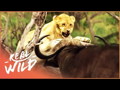 Buffalo Stampede Tramples Lion Cub (Wildlife Documentary) | A Year In The Wild S1 EP5 | Real Wild
