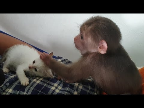 Baby Monkey  Doo's Family Has A New Member, Cat Miu - Funny Animals