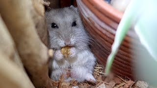 The Cutest Way For A Hamster To Eat 😍 by ErinsAnimals