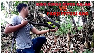 Download Video BLACK KING COBRA LEBIH GALAK ! KUALAHAN NANGANINYA MP3 3GP MP4