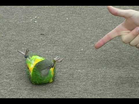 parrot - http://ParrotWizard.com Join the parrot forum for discussions about senegals, parakeets, other parrots, tricks, training, care, and more. http://theparrotfor...