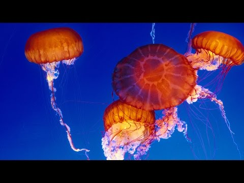 Live Jelly Cam Monterey Bay Aquarium