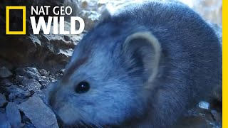 See Extremely Rare Video of Teddy Bear-Like Mammal | Nat Geo Wild by Nat Geo WILD