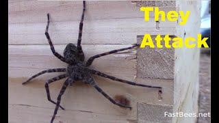Video Fishing spider was attacked by honey bees. Original HD video MP3, 3GP, MP4, WEBM, AVI, FLV Agustus 2018