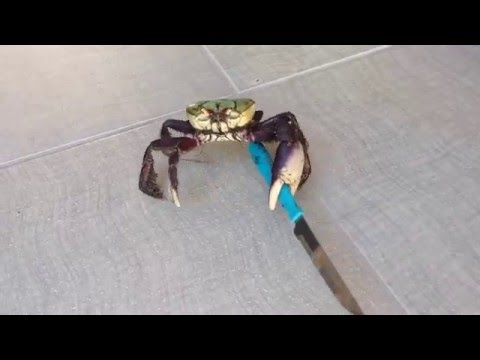Knife-Wielding Crab Will Cut You