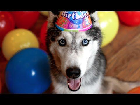 la festa di compleanno dell'husky