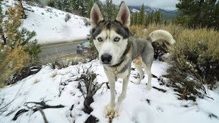 GOHAN THE HUSKY REACTS TO SNOW FOR THE FIRST TIME EVER!