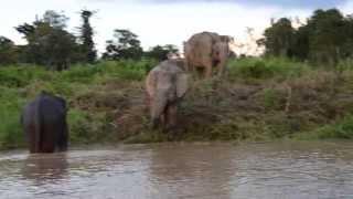 Borneo Pygmy Elephants in Sungai Kinabatangan