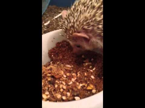 African Pygmy Headgehog, having some dinner