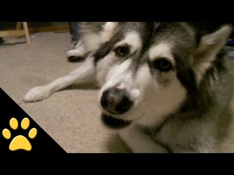 talking - In this awesome dog compilation, tune in while we present you with some of our favorite talking dog moments from the petsami vault. Which dog was your favori...