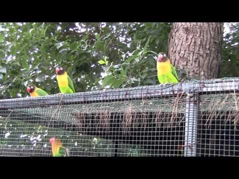 AGAPORNIS - FLY PORNIS EN CASA DE HALCTOR.mkv