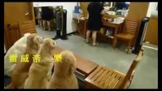 Japonesa ensina cães a orar antes do almoço