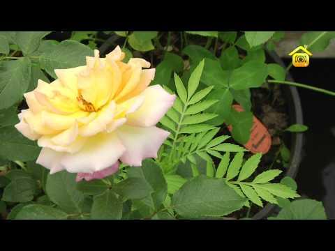 Выращивание роз и профилактика болезней