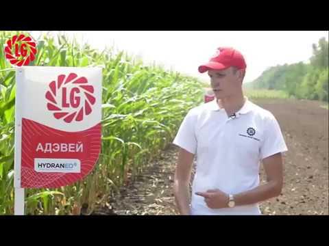 гибрид кукурузы АДЭВЕЙ - особенности и преимущества в условиях засухи