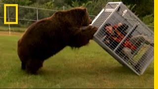 Video Brown Bear Attack | Dangerous Encounters: Alaska's Bear Country and Beyond MP3, 3GP, MP4, WEBM, AVI, FLV November 2017
