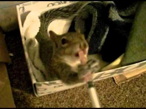 Funny and Cute Baby Squirrel having his favorite drink – Success Story of Mon Mini Part 4