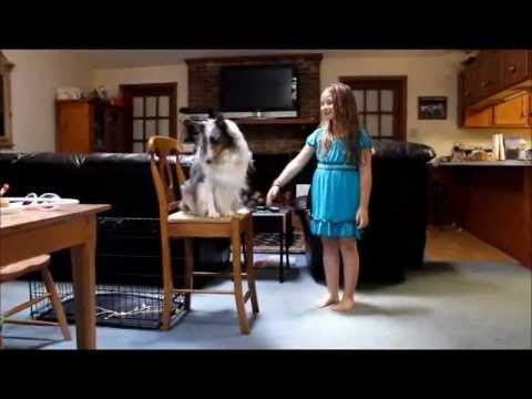 BluemerleSheltie - Rachel shows off some of the fun thing Patch will do for a treat. Shetland Sheepdog. Proudly raised on Iams ! Another older video about Patch and our pet Chi...