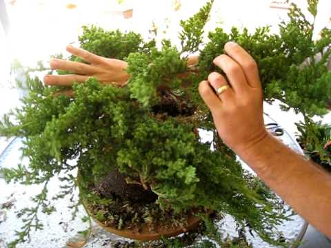 How to Create a Bonsai Tree From a Nursery Juniper, Part One