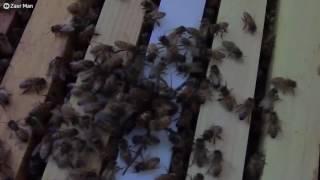 El ataque asesino de un enjambre de abejas a una enorme araña