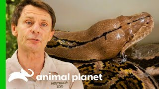 Reticulated Python Needs Extra Help To Shed Her Skin | Crikey! It's The Irwins by Animal Planet