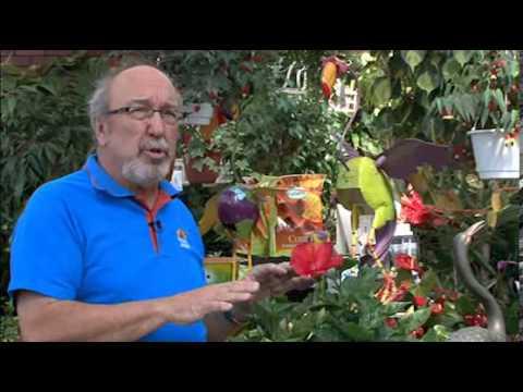 Comment soigner un hibiscus d 39 interieur la r ponse est - Comment entretenir un hibiscus ...