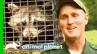 Bear-Proofing Raccoon Traps To Safely Get Rid Of Nuisance Wildlife | North Woods Law by Animal Planet