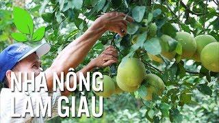 Nhà nông làm giàu | Thu nhập cao nhờ cây bưởi Thồ chín sớm