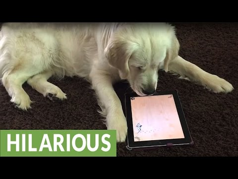 Dog Is Fascinated with iPad Game