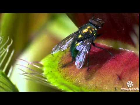 дионея мухоловка ловит мух