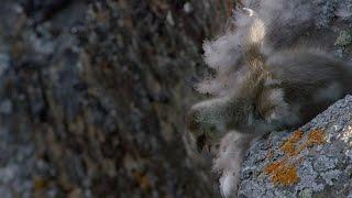 Gąsiątko skacze z ponad 100 metrowego, skalnego klifu, aby dołączyć do rodziców.