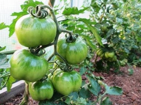 10 Terrific Tomato Growing Tips - Growing PERFECT Tomatoes at Home