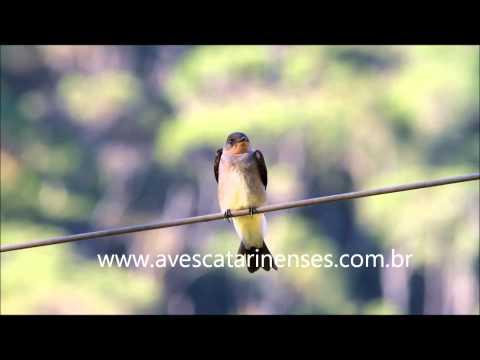 Andorinha-serradora - Cristiano Voitina